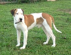Bull Arab, created in 1970s Australia for hunting feral pigs. Breeds used were bull terrier (pit, Stafford), pointer (including German), Saluki, greyhound, bloodhound, and mastiff.