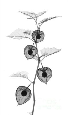 X-ray Of Chinese Lantern Plant Art Print by Ted Kinsman. All prints are professionally printed, packaged, and shipped within 3 - 4 business days. Choose from multiple sizes and hundreds of frame and mat options. Xray Flower, Flower Art, Chinese Lanterns Plant, Plant Art, Sale Poster, Botanical Illustration, Color Splash, Fine Art Prints, Drawings