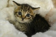 Marlo: American Shorthair, Cat; Pembroke, GA    Look at his eyes! He's adorable!
