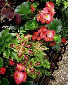 coleus, begonias, maidenhair fern, holly fern