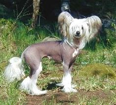 Chinese Crested Hairless Dog - $4,000