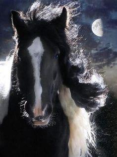 Beautiful Gypsy Stallion Valentino owned by Fran Scott