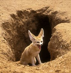 Fennec fox.  Along the border between Israel and Sinai desert, used to live a small  population of Fennecs. I don't know what happened to them now.They live in a sandy area, dig in the sand and eat insects and snails.  The Fennec fox is the smallest fox in the world - only 1 kg.