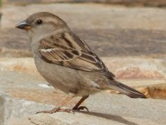 Female House Sparrow - saved a young one yesterday. Types Of Sparrows, Female House Sparrow, Sparrow Bird, Different Birds, Bird Wings, Bird Sculpture, Bird Pictures, Colorful Birds, Little Birds