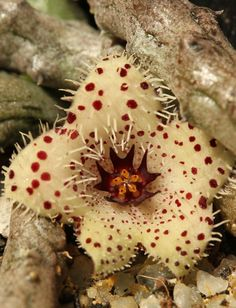 STAPELIANTHUS madagascariensis - Stapelianthus the entire Genes is endemic to Madagascar!