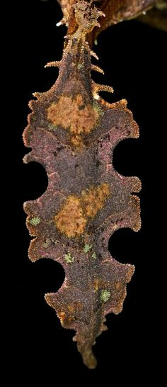 The tail of the Satanic leaf-tailed gecko (Uroplatys phantasticus) | Flickr - Photo Sharing!