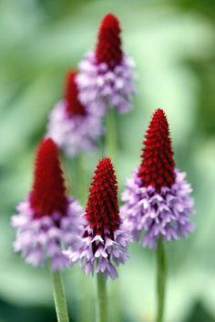 POKER PRIMROSE Primula vialli - 1) Perennial with red buds & purple blossoms…