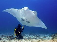 Interesting unexpected infos about Manta Rays