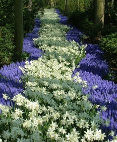 The Magical Little River Special (50 Narcissus Thalia and 100 Muscari armeniacum for $39.75) from http://www.johnscheepers.com (posted on July 26, 2013)