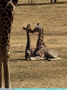 Giraffe BFFs