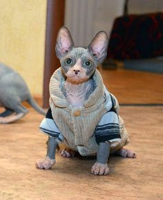 Cute Sphynx Cat Clothes How to care for a hairless cat -Understanding your cat better at catsincare.com!