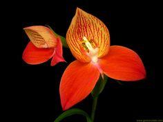 Disa-uniflora4.jpg 864×648 pixels