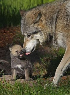 Wolf with her one month old pup. (Photo by Ardea Wildlife Pets Environment/Caters News) Wolf Photos, Wolf Pictures, Animal Pictures, Wolf Husky, Wolf Pup, Animals And Pets, Baby Animals, Cute Animals, Wolf Spirit