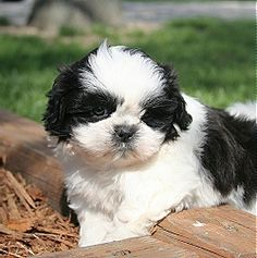 Shih Tzu puppies, When looking for Shih Tzu dog puppies this breed may also be referred to as the Chinese Lion Dog and Chrysanthemum Dog.
