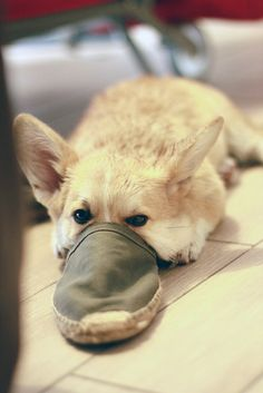 Nope, that's not a typo. It's a mix between platypuses and dogs. But it's no biological mishap. Rather, it's something that happens when a doggo sticks its nose into a shoe. Funny Dogs, Funny Animals, Cute Animals, Corgi Funny, Cute Puppies, Cute Dogs, Dogs And Puppies, Corgi Dog, Dog Cat