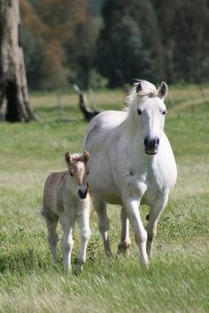 Ghillie - two weeks Highland Pony Mini Horses, Baby Horses, Pony Breeds, Horse Breeds, Highland Pony, Wild Horses Running, Horse Rescue, Highlanders, Horse World