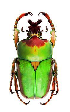 Compsocephalus dmitriwi