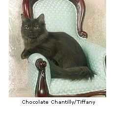 Chantilly/Tiffany Mica (daughter of Chocala) Chantilly/Tiffany Cat Breeders: Fanciers Breeder Referral List Exotic Cat Breeds, Best Cat Breeds, Cat Breeders, Purebred Cats, Kittens Cutest, Cats And Kittens, Chantilly Tiffany, Mixed Breed, Cat Stuff