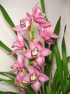 Cymbidium   Meine Cymbidium-Orchidee » Pflanzenblog