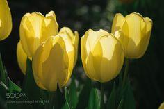 tulip by BuchioTakano