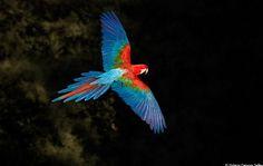 Greenwing Macaw