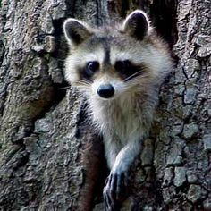 North American Raccoon (Procyon lotor) Raccoons originally resided in North American mixed and deciduous forests. They eventually dispersed to mountainous regions, coastal marshes and urban areas. Because of humans, raccoons are now also distributed across Europe, Japan and the Caucasus region.