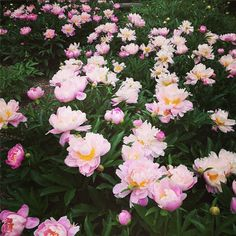 If you are in town when they're in bloom, checking out the Peony Garden is a must! Up to 10,000 flowers bloom each year.