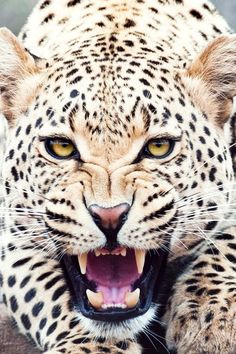 .tigre