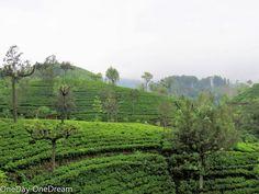 Tea plants in Sri Lanka