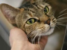 PLEASE SAVE KITTY**KILLED TODAY**JAN 10, 2013 **THURSDAY**SHE IS 8 YRS OLD**OWNER SAID ALLERGIC AFTER 8 YRS?  My name is KITTY. My Animal ID # is A0954226.  I am a female br tiger and white amer sh mix. The shelter thinks I am about 8 YEARS old.  CONTACT INFO ON FACEBOOK: PETS ON DEATH ROW -NEW YORK....LOOKS LIKE MY KITTY LOLA...REAL SMART....THANK YOU, DANA