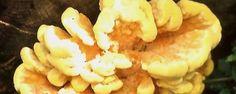 Momenteel komen er weer meldingen binnen van briljant gekleurde zwavelzwammen. De zwavelzwam is een grote houtzwam die is opgebouwd uit een toef vlezige spatelvormige hoeden. Vooral in het beginstadium van hun ontwikkeling bezitten de hoeden allerlei gradaties van witte, gele en oranje kleuren met overgangen daartussen. In een later stadium verdwijnen de felle kleuren. Oude exemplaren worden wit en brokkelig als geitenkaas.