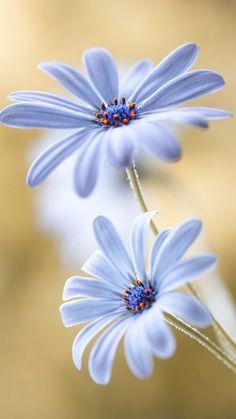 flower garden care ~~Cape Daisy by Mandy Disher~~ Amazing Flowers, My Flower, Pretty Flowers, Flower Power, Wild Flowers, Spring Flowers, Daisy Flowers, Tropical Flowers, Flower Ideas