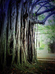 Cuban tree