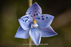 Dotted Sun-orchid: Thelymitra ixioides; Photo by Ian Mckenzie