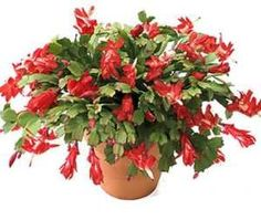 Christmas Cactus Pruning - How To Trim A Christmas Cactus ...