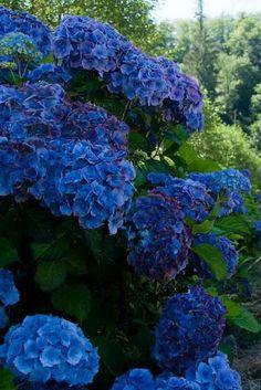 blue hydrangea #1 of 3 type of  flowers I want in my wedding boquet