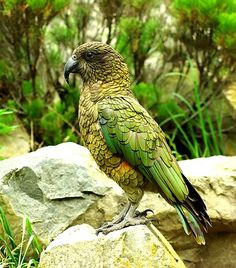 Kea, New Zealand pest, only on South Island, see them in the zoo. Animals Of The World, Animals And Pets, Cute Animals, Beautiful Birds, Animals Beautiful, Amazing Animal Pictures, Wild Birds Unlimited, In The Zoo, All Birds