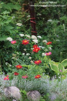 Chrysanthemum coccineum