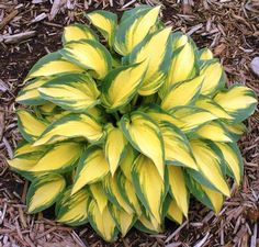 Remember Me Hosta    a nice one to add to the june family. I don't know about this one.