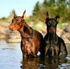 Red & Black Doberman Pinchers