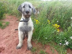 Harker at 13 weeks old ( Irish Wolfhound )
