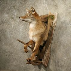 Taxidermy/coyote | Coyote Half Life Size Taxidermy Mount in a Wood Cave For Sale