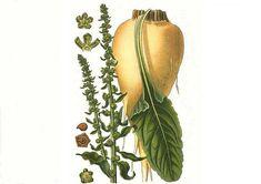 Betaina – un nutrient necunoscut Cactus Plants, Metabolism, Cactus