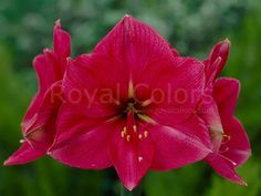 Amaryllis Hercules has #beautiful large #pink #flowers. A feast for the eyes. In the flower a beautiful drawing of deep 'veins' can be seen. A #juwel for any #amaryllis lover  #Hippeastrum   #амариллис   #アマリリス   #孤挺花   #amarilis   #flowerlovers royalcolors.com   #flowers #royalcolors #Floral #Flower #Bloom #Beautiful #Amazing #bulbs #keukenhof #Netherlands