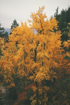 Love the trees until their leaves fall off, then encourage them to try again next year. Autumn Cozy, Autumn Trees, Autumn Leaves, Golden Leaves, Seasons Of The Year, Best Seasons, Autumn Aesthetic, Christmas Aesthetic, Forest House