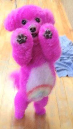 Care Bear Poodle, soo cute