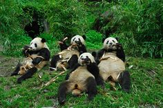 Bear Pause  Giant pandas eat at the China Panda Protection and Research Center in Wolong, China.