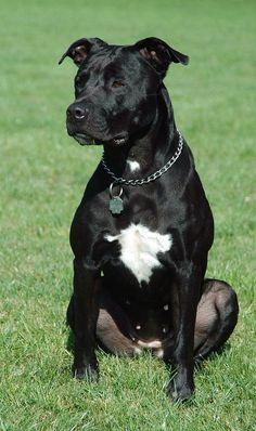 Dog crossbreed - Wikipedia Black Pitbull Puppies, Cute Dogs And Puppies, All Black Pitbull, Pitbull Lab Mix, Doggies, American Staffordshire Terrier, Cute Pitbulls, Staffy Dog, Dog Crossbreeds