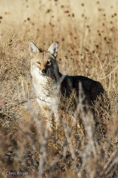 Coyote on the Bosque, via Flickr.