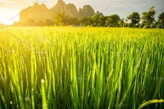 Paddy rice field Photos Paddy rice field background and sunrise by Village Photography, Nature Photos, Royalty Free Images, Sunrise, Around The Worlds, Rice, Stock Photos, Explore, Wallpaper